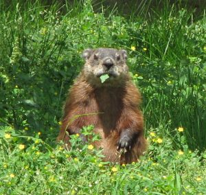 groundhog in farm field
